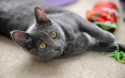 bigstock-Korat-cat-playing-with-toy-on-179031469_