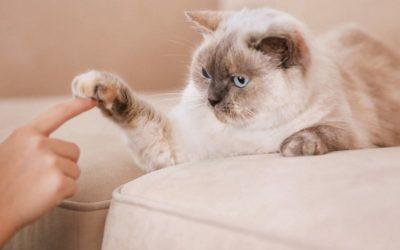 bigstock-Cute-cat-playing-with-human-ha-169020731_