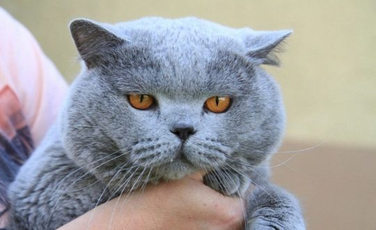 bigstock-Old-British-Cat-Portrait-198644479_