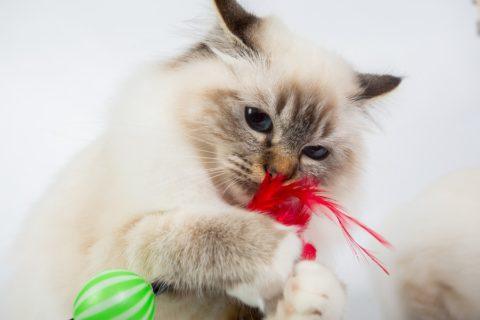 Spielzeug weg den Jagdtrieb bei Katzen