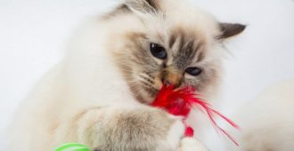 bigstock-Sacred-Birman-Cat-Play-With-To-203077792_