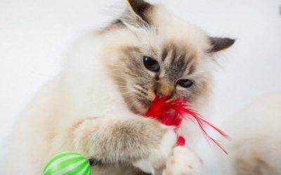 bigstock-Sacred-Birman-Cat-Play-With-To-203077792_