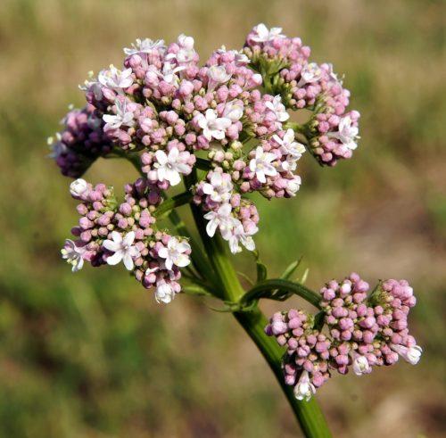 Baldrian Pflanze