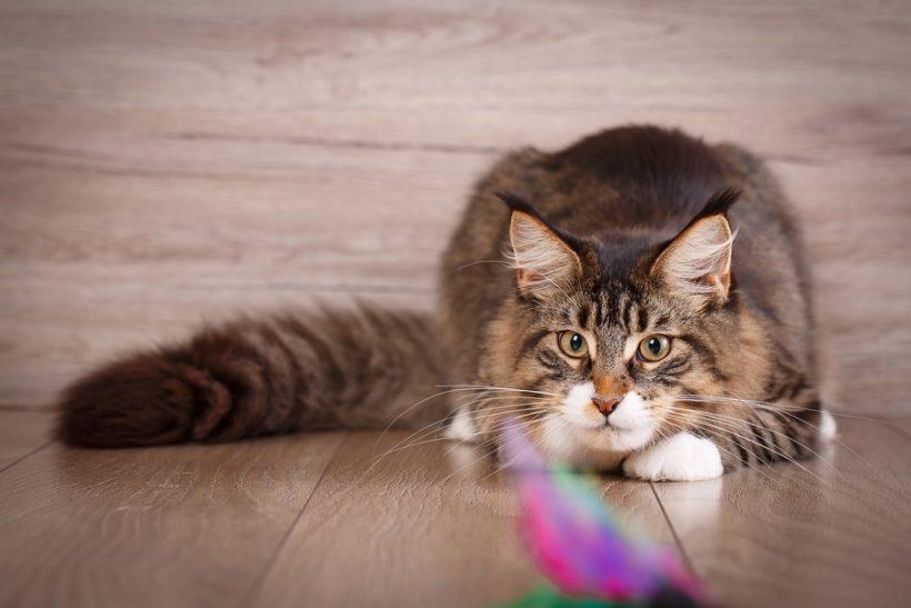 Der Jagdinstinkt bei Katzen - Das passende Katzenspielzeug