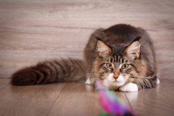 Der Jagdinstinkt bei Katzen – Finden Sie das richtige Katzenspielzeug