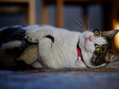 Katzen im Fight mit Katzenfischspielzeug