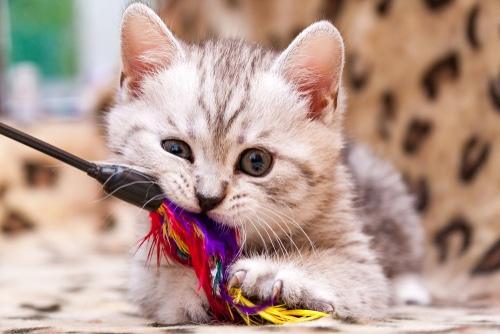 Katze mit Katzensdpielzeug